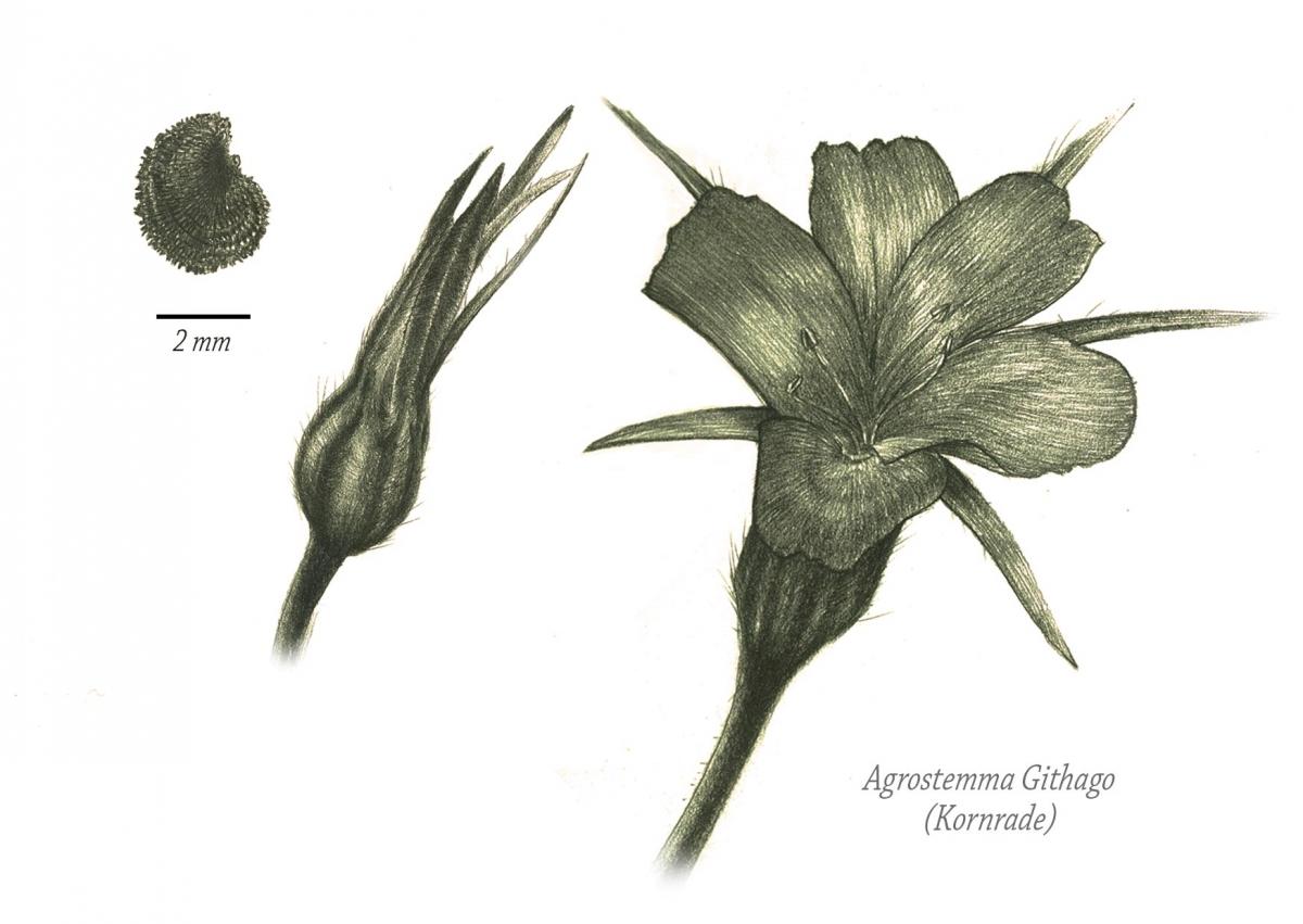 Agrostemma-Githago postkarte
